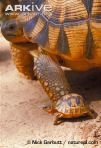 Young-ploughshare-tortoise-with-adult-