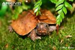 Black-breasted-leaf-turtle