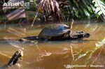 Black-wood-turtle-in-habitat