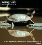 Black-wood-turtle