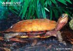 Side-view-of-a-black-breasted-leaf-turtle-