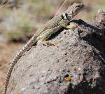 1144px-Collared_Lizard_Albuquerque_NM1_1