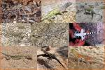 4. Family Phrynosomatidae (earless lizards)