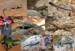5. Family Phrynosomatidae (spiny lizards)