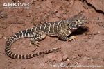 Adult-male-blunt-nosed-leopard-lizard---dark-phase