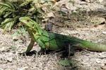 Black Spiny-tailed Iguana - Costa Rica - 7-27-2012 - 012