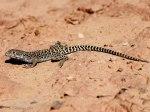 CO_Rep_Amph_Leopard_Lizard