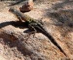 cophosaurus_texanus