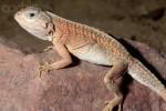 Madagascar Desert Iguana
