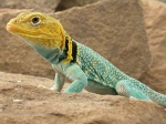 DG-Halsbandleguan-Crotaphytus-collaris-auriceps-Utah-m-002