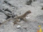 Madagascar_Iguana_Anakao_reptile_lizard_Chalarodon_madagascariensis.580.0xb17109b330ea788.PA180047.JPG.aspx