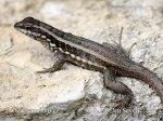 masked-curly-tailed-lizard--xxxleiocephalus_personatus