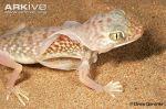 Middle-Eastern-short-fingered-gecko-shedding-skin
