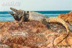 nolasco-spiny-tailed-iguana