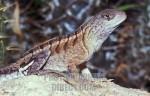 Madagascar Iguana , Chalarodon madagascariensis