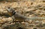 Spiny-tailed Iguana P1030177