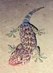 Tokay_Gecko